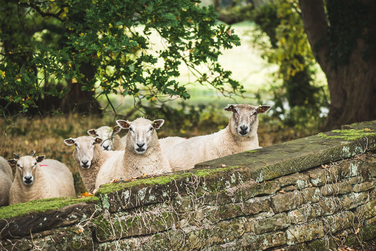 sheep at somerford farm